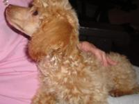 I have 1 female apricot color toy poodle puppy. She is