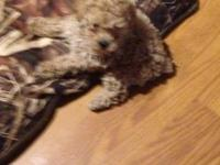Hello I am a sweet baby girl Toy Poodle Puppy. My DOB