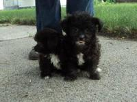 Megan is a wonderful older toy poodle who is looking