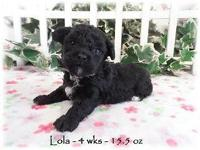 Lola is a black toy poodle with a white chest At 4 wks