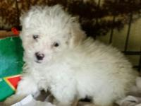 Male Toy Poodle loving home raised $250. Wormed, first
