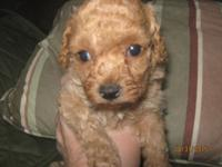 This beautiful Red Toy Poodle Puppy has had her dew