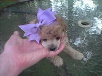Toy Poodle Male, altered, phantom, all shots, wormed,