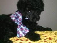 Hello everyone I have a male toy blk poodle...Hes a