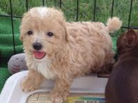 ACA registered Toy Poodle male puppy For more info CALL