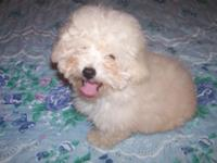 For sale Registered Toy Poodle puppy male.He is 3