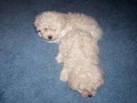 I have one little Toy Poodle Male puppy for sale.Very