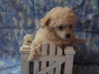 I have one little TINY male toy poodle puppy, his daddy