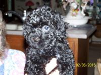 POODLE Toy female Black Vaccinated and worming up to