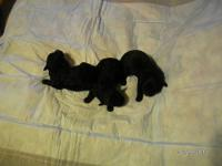 I HAVE 3 TOY POODLE PUPPIES FOR SALE, 2 FEMALE AND 1