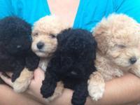 Lovely toy poodle pups. 1 tiny dark brown boy $600. 1