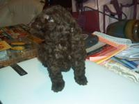AKC QUALITY NON-PAPERED TOY POODLE PUPPIES, BORN 9/1/13