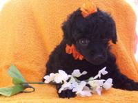 AKC TOY POODLE FEMALE PUPPIES with Champions in the