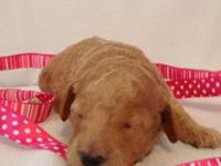 Stunning AKC plaything poodle puppies - tails anchored,