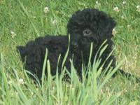 We have two small toy poodle puppies. They will be
