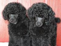 These beautiful, healthy, well cared for toy poodles