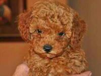 2 male Purebred Toy Poodles ready for their new homes