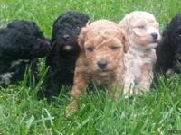Need to find homes for 5 toy poodle puppies. I have