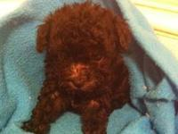 Two black male Toy Poodle puppies. Ready to find their
