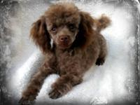 My moms poodles had puppies :) They are purebred toy