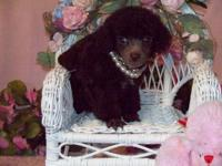 TOY/TINY TOY POODLE PUPPIES, REGISTERED, D.O.B.