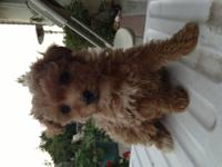 Three AKC, champion line toy poodle puppies. Born