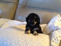 3 plaything poodle female young puppies $500 each. One