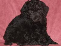 Purebred Toy Poodle Puppies that have their initial