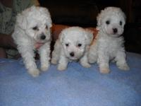 I have 3 White Plaything Poodle Puppies for sale. One