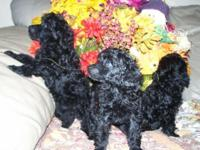 Toy Poodle Puppies Born 7-20-2014 CKC Reg. Solid Black