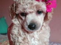 Toy Poodle Puppy's. Thryrr really sweet and incredibly