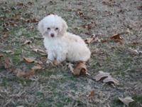 We have 2 cute little female Toy Poodles for adoption.