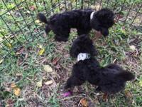 Toy poodle puppies, 11 weeks old, have their first