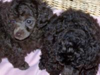 APRI Toy Poodle Puppies 9 weeks old 1 chocolate male 1
