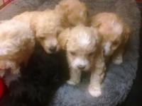 Tiny toy poodle puppies, tails docked dew claws