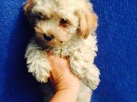Two little apricot & cream purebred toy poodle puppies