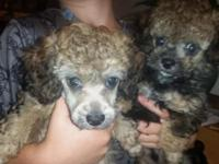 3 purebred toy poodle puppies available! One male and 2