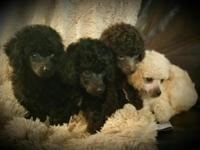 Toy poodle puppies. Males and females. Colors are