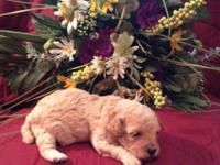 Gorgeous Apricot Toy Poodle Puppies - I have 3 boys