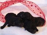 Gorgeous AKC registered poodle Puppies will be ready