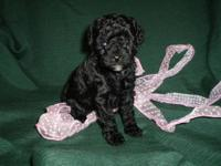 Gorgeous Black Toy Poodle Puppies - CKC registered -
