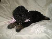 Gorgeous Toy Poodle Puppies - CKC registered Ready Now