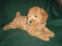 Gorgeous Toy Poodle Puppies - CKC registered - out of