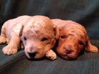 Gorgeous Toy Poodle Puppies - Both come CKC registered