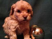 Gorgeous Dark Apricot Toy Poodle Puppies - They come
