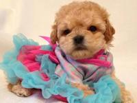 Gorgeous Red Toy Poodle Puppies - will be ready