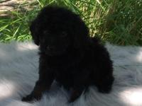 Toy Poodle Puppies for Sale, Registered/registerable,