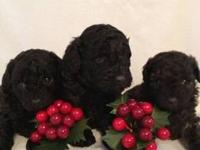 I have Three male toy poodle puppies for sale.They are