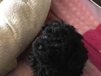 2 males and 1 female black AKC toy poodles forsale for