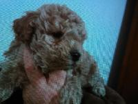 Toy poodles. Males $550. Females $575. Hypo-allergenic.